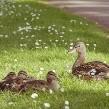 VIDEO: Policías detienen el tráfico para que una familia de patos cruce la calle