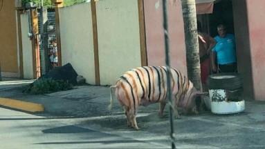 En redes sociales circula una foto de un cerdo que tiene pintadas unas rayas de tigre.