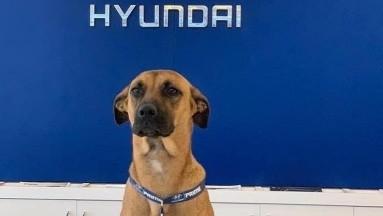 Perrito es contratado como colaborador en agencia de autos Hyundai en Brasil