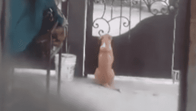 ¡Enternecedor! Un perro se hace viral al esperar a sus dueños en la puerta de la casa