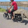 VIDEO: Jóvenes se roban un cocodrilo en Sinaloa; se lo llevan en una moto
