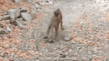 ¡Qué miedo! Hombre es perseguido por un puma salvaje y el video se hace viral