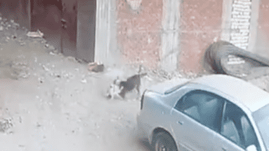 ¡Qué valiente! Gato se enfrenta a perro por salvar a un niño