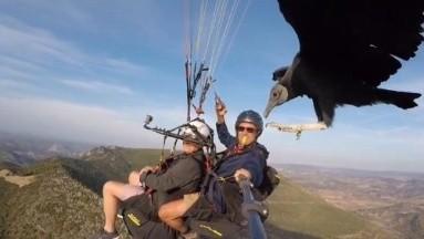 VIDEO: ¡Impresionante! Buitre se pasea en parapente y se hace viral