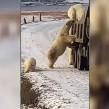 Una manada de osos polares sorprendieron al subir a un camión de basura en busca de alimento.