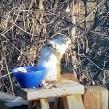 Una hambrienta ardilla sufrió de una pequeña intoxicación al comer unas peras fermentadas.